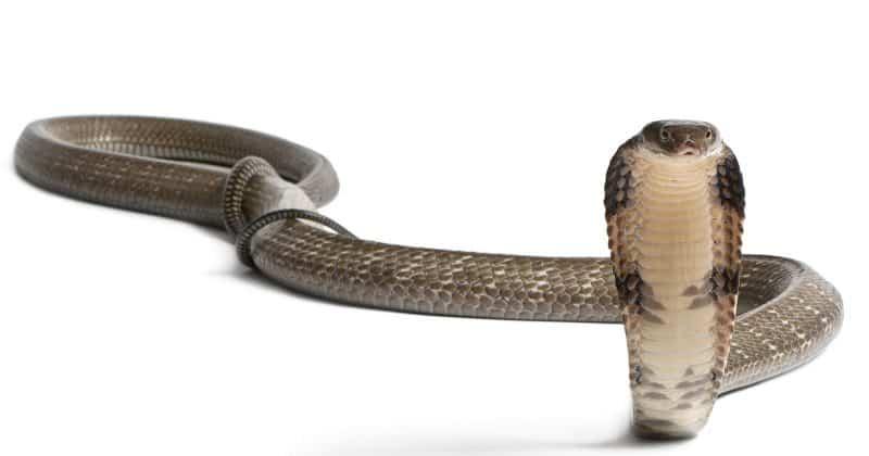 Durchschlängeln ist Gift Kobra